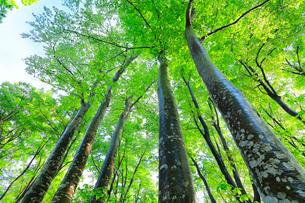 ブナの森の写真素材 [FYI01800128]