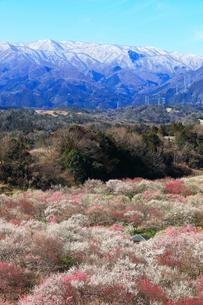ウメの花と残雪の鈴鹿山脈の写真素材 [FYI01800136]