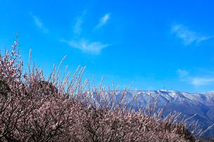 ウメの花と残雪の鈴鹿山脈の写真素材 [FYI01800155]