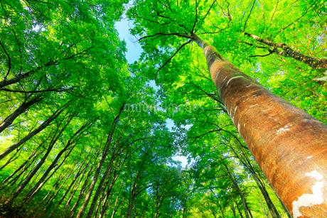 新緑のブナの森の写真素材 [FYI01800161]