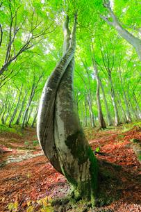 ブナの森の写真素材 [FYI01800187]