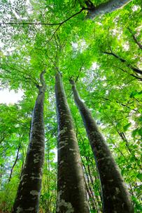 ブナの森の写真素材 [FYI01800202]