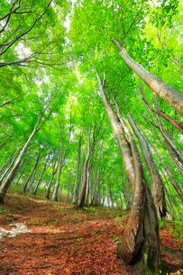 ブナの森の写真素材 [FYI01800219]