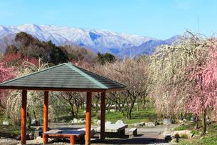 ウメの花と残雪の鈴鹿山脈の写真素材 [FYI01800231]