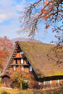 秋の白川郷 柿の木と合掌造りの写真素材 [FYI01800233]
