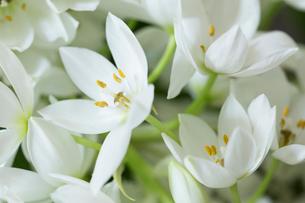 白いオオニソガラムの花の写真素材 [FYI01800241]