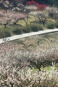 ウメの花の写真素材 [FYI01800264]
