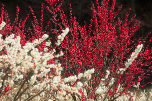 ウメの花の写真素材 [FYI01800270]