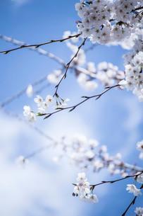 青空と咲き始めの桜の写真素材 [FYI01800273]