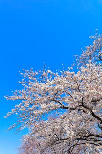 桜と快晴の空の写真素材 [FYI01800278]