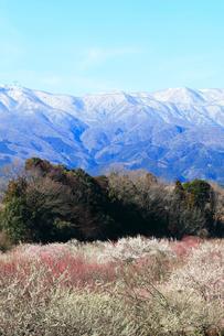 ウメの花と残雪の鈴鹿山脈の写真素材 [FYI01800279]