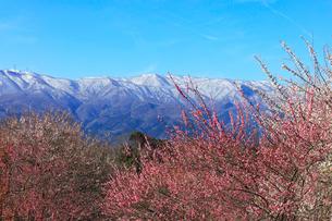 ウメの花と残雪の鈴鹿山脈の写真素材 [FYI01800300]