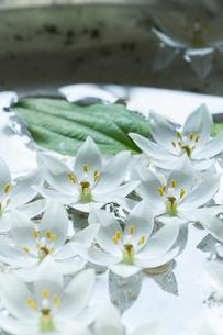 ビンテージの洗面器に浮かべた白いオオニソガラムの花の写真素材 [FYI01800303]