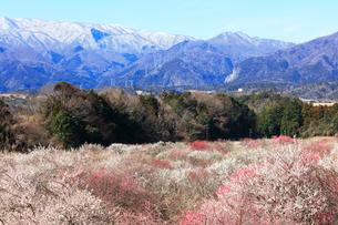 ウメの花と残雪の鈴鹿山脈の写真素材 [FYI01800306]