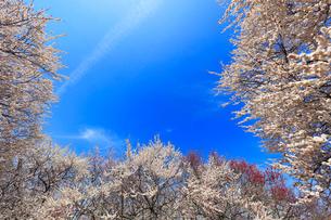 ウメの花と青空の写真素材 [FYI01800317]