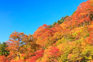紅葉と快晴の青空の写真素材 [FYI01800324]