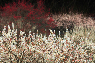 ウメの花の写真素材 [FYI01800340]
