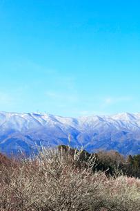 ウメの花と残雪の鈴鹿山脈の写真素材 [FYI01800356]