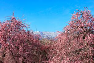 ウメの花と残雪の鈴鹿山脈の写真素材 [FYI01800388]