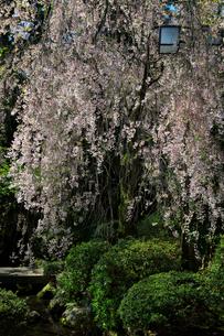 枝垂れ桜の写真素材 [FYI01800394]