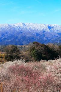 ウメの花と残雪の鈴鹿山脈の写真素材 [FYI01800402]