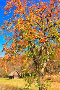 秋の白川郷 柿の木と合掌造り小屋の写真素材 [FYI01800420]