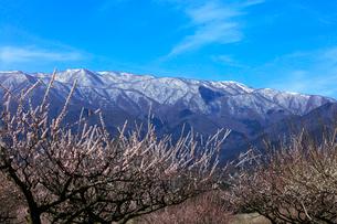 ウメの花と残雪の鈴鹿山脈の写真素材 [FYI01800421]