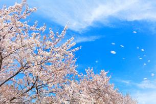 桜と舞い散る花びらの写真素材 [FYI01800422]