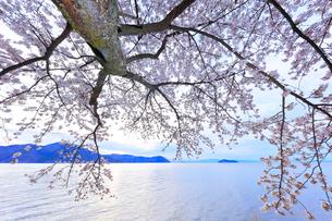 海津大崎の桜 朝の琵琶湖に竹生島の写真素材 [FYI01800434]