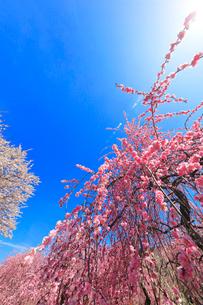 ウメの花と空に太陽の写真素材 [FYI01800435]