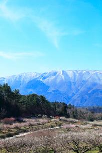 ウメの花と残雪の鈴鹿山脈の写真素材 [FYI01800484]