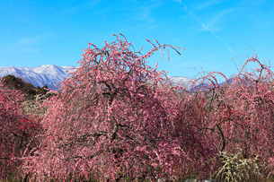 ウメの花と残雪の鈴鹿山脈の写真素材 [FYI01800498]