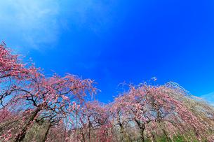 ウメの花と青空の写真素材 [FYI01800500]