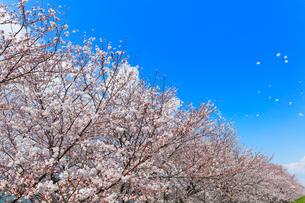 桜並木に舞い散る花びらの写真素材 [FYI01800503]