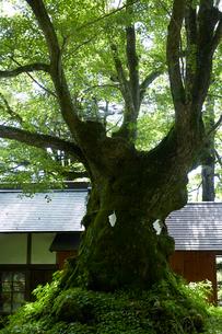 熊野皇大神社の科の木の写真素材 [FYI01800508]