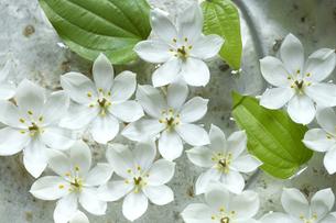 ビンテージの洗面器に浮かべた白いオオニソガラムの花の写真素材 [FYI01800528]
