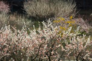 ウメとサンシュユの花の写真素材 [FYI01800530]