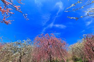 ウメの花と青空の写真素材 [FYI01800547]