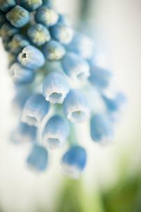 鈴なりなムスカリのマクロ写真の写真素材 [FYI01800567]