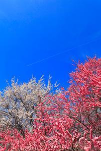 ウメの花と青空に飛行機雲の写真素材 [FYI01800581]
