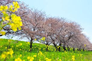 桜並木と菜の花の写真素材 [FYI01800584]