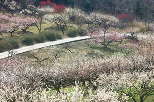 ウメの花の写真素材 [FYI01800586]