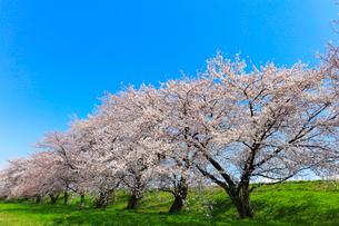 桜並木と快晴の空の写真素材 [FYI01800591]