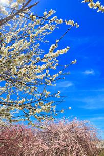 ウメの花と青空の写真素材 [FYI01800620]