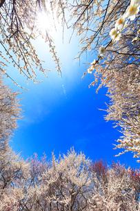 ウメの花と空に太陽の写真素材 [FYI01800629]