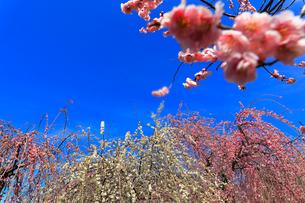 ウメの花と青空の写真素材 [FYI01800713]