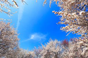 ウメの花と青空の写真素材 [FYI01800714]
