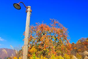 秋の白川郷 柿の木にススキと電柱の写真素材 [FYI01800745]