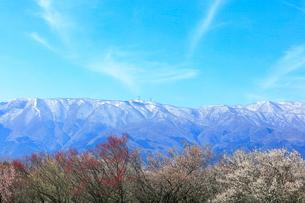 ウメの花と残雪の鈴鹿山脈の写真素材 [FYI01800746]