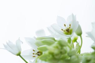 白い壁と白いオオニソガラムの花の写真素材 [FYI01800761]
